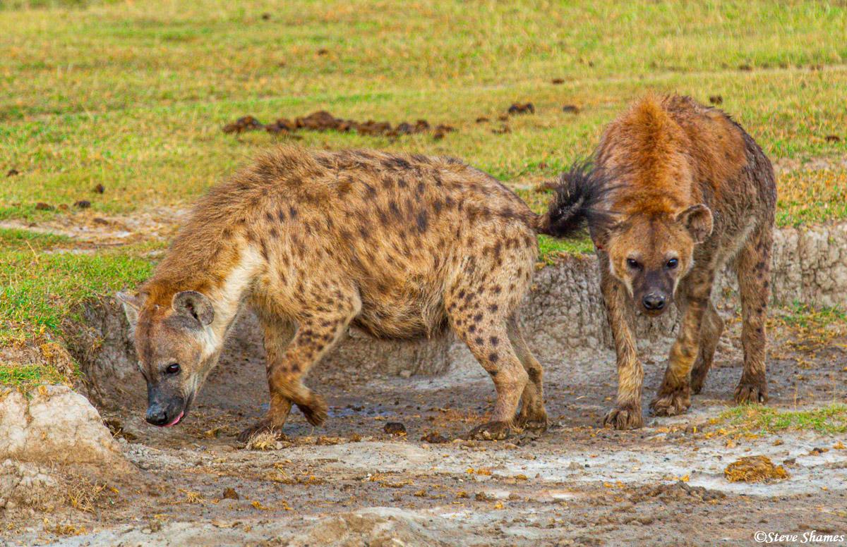 serengeti hyenas, national park, tanzania, photo
