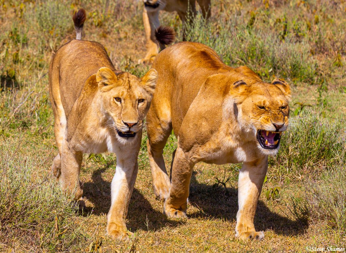 serengeti, national park, tanzania, lionesses, photo