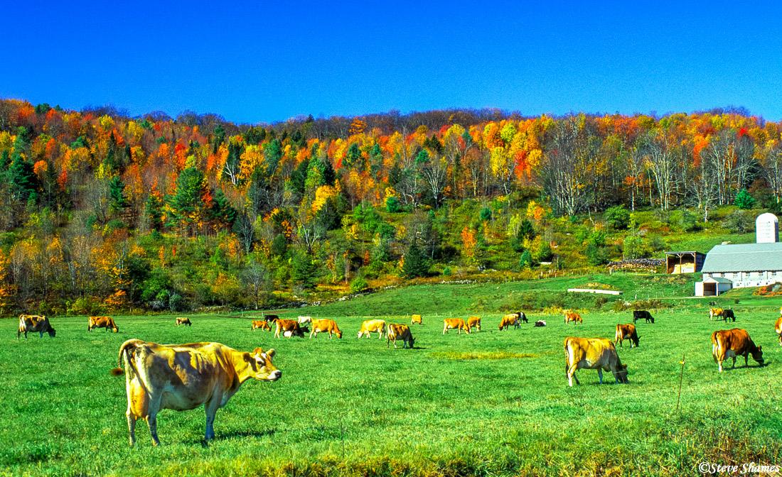 vermont, new england, happy cows, photo