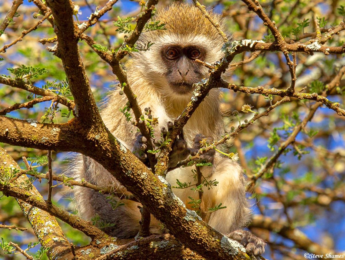 serengeti, tanzania, vervet monkey, photo