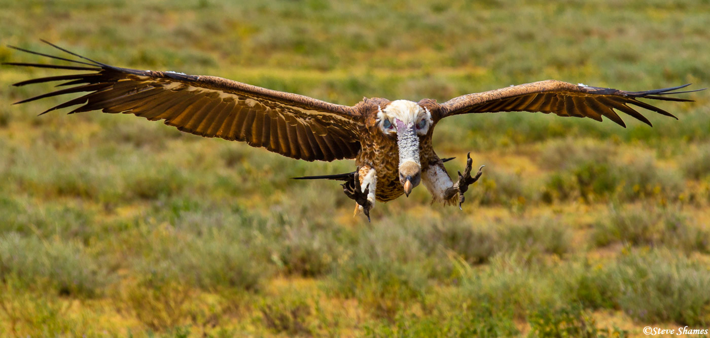 vulture landing, serengeti, national park, tanzania, photo