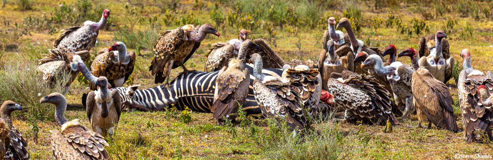 serengeti, national park, tanzania, lapped faced, griffon vulture, african, photo