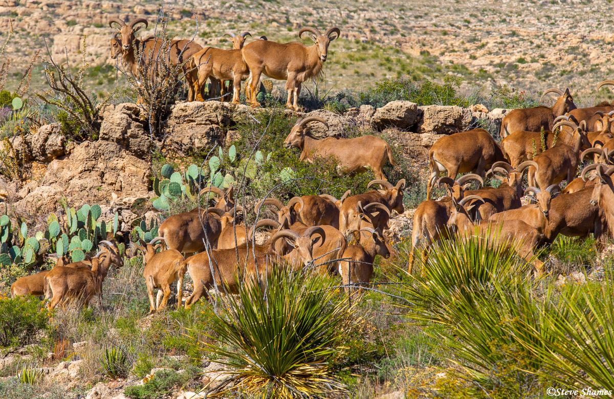 walnut canyon desert drive, carlsbad caverns, new mexico, barbary sheep, photo
