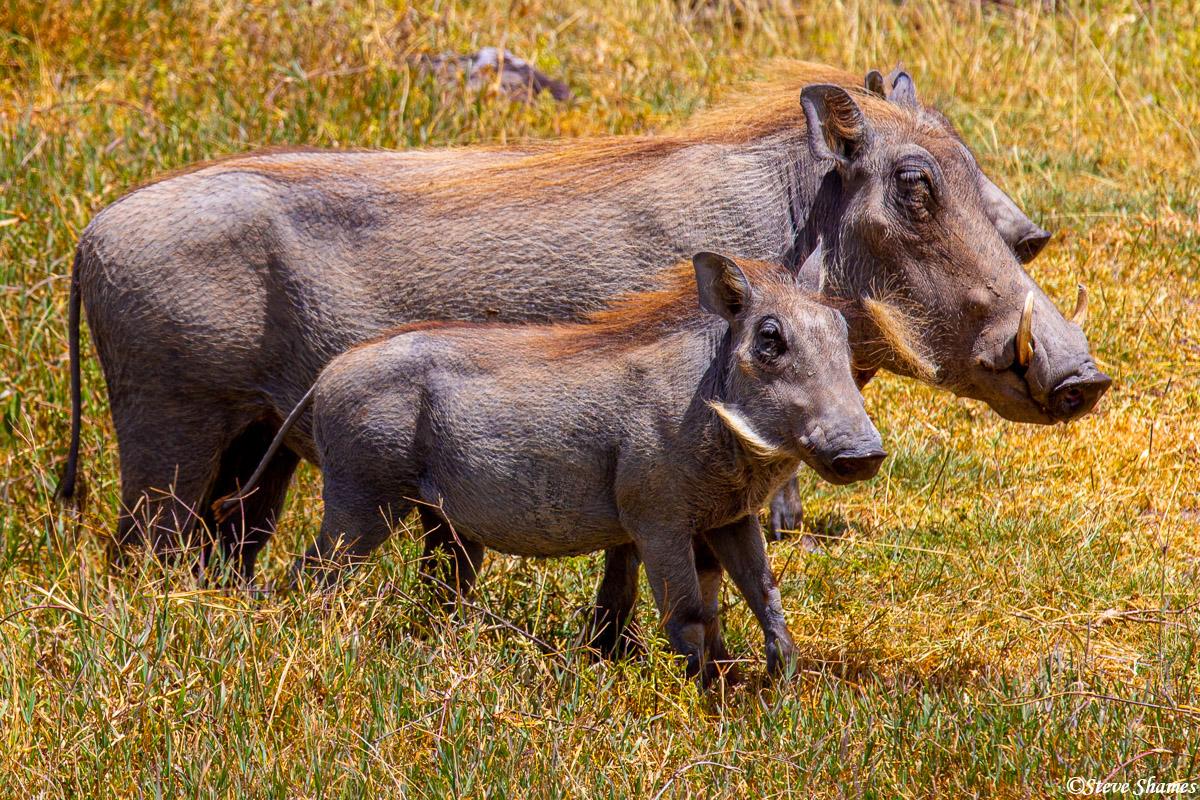 warthogs, ngorongoro crater, tanzania, photo
