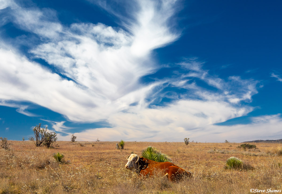 west texas, highway 118, big sky, texas cow, photo