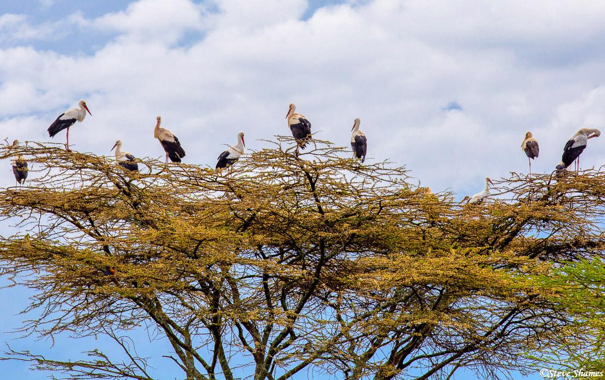 the serengeti, tanzania, white storks, photo