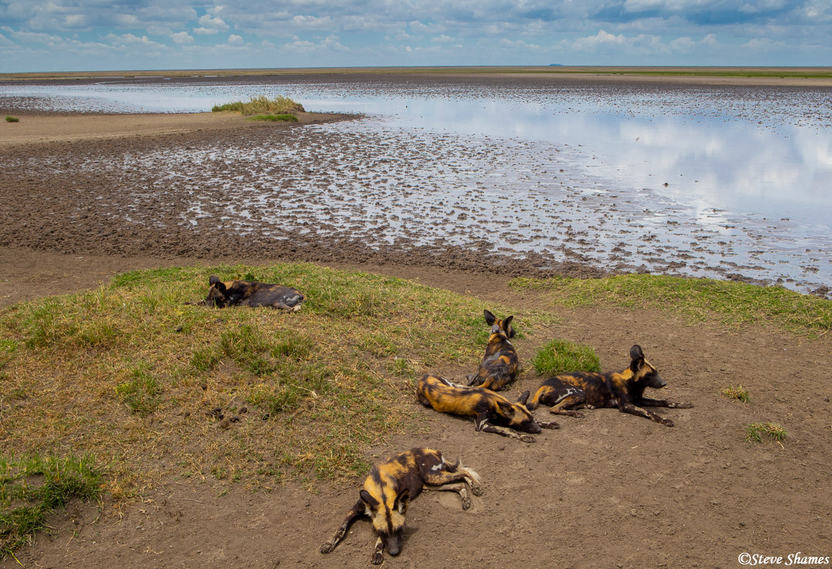 serengeti national park, tanzania, wild dog pack, photo