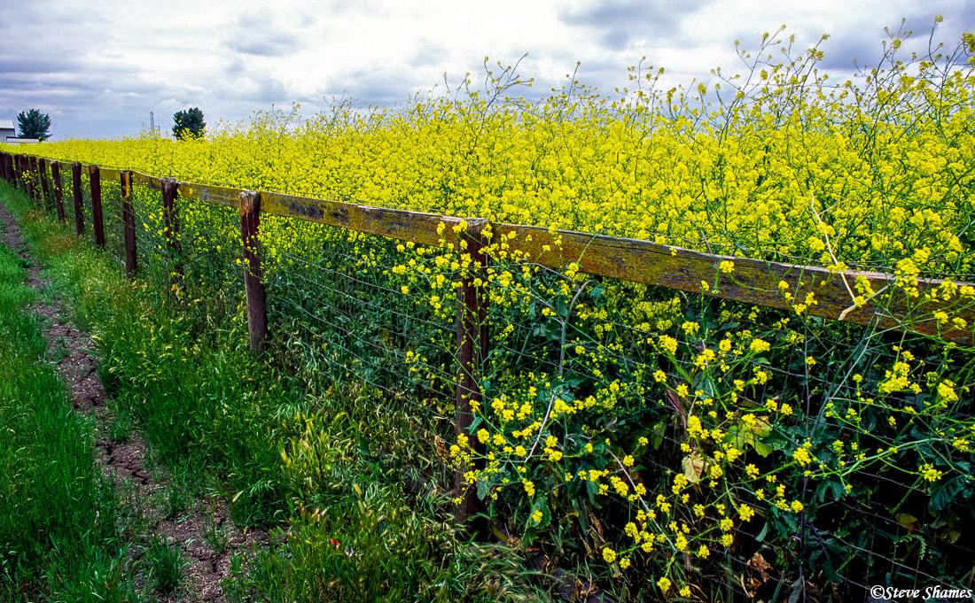 wild mustard plants, sacramento valley, california, photo