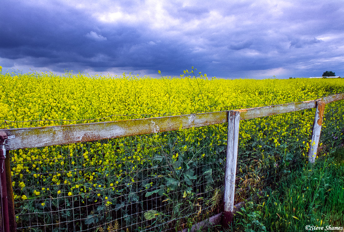 wild mustard, sacramento valley, california, photo