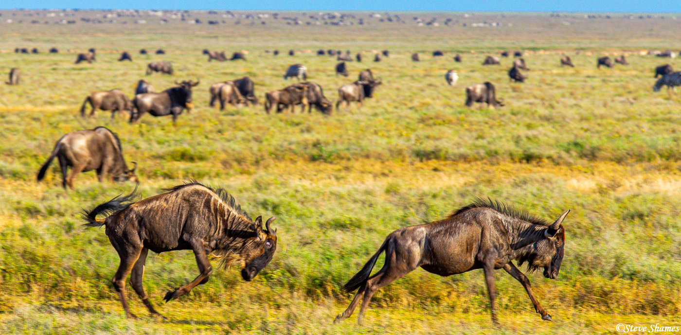 wildebeest chasing, serengeti, tanzania, photo