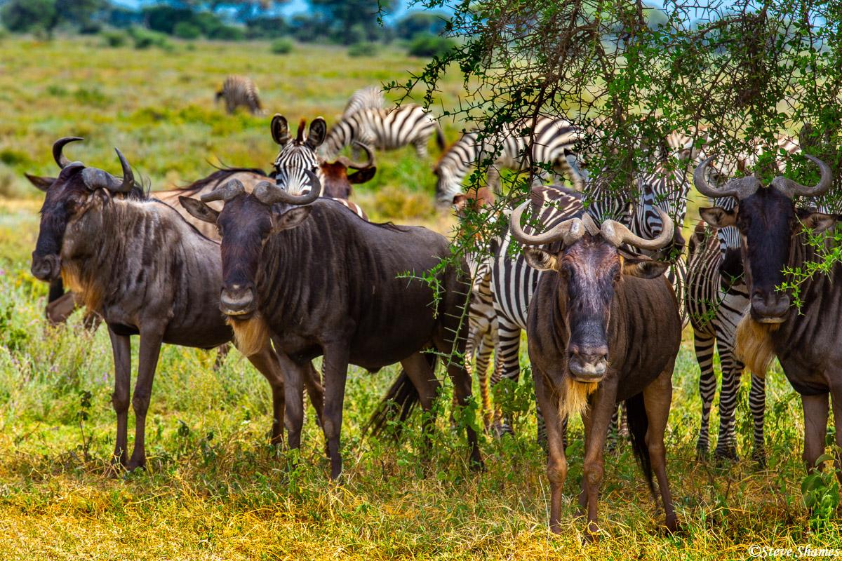 wildebeest relaxing, serengeti, tanzania, photo