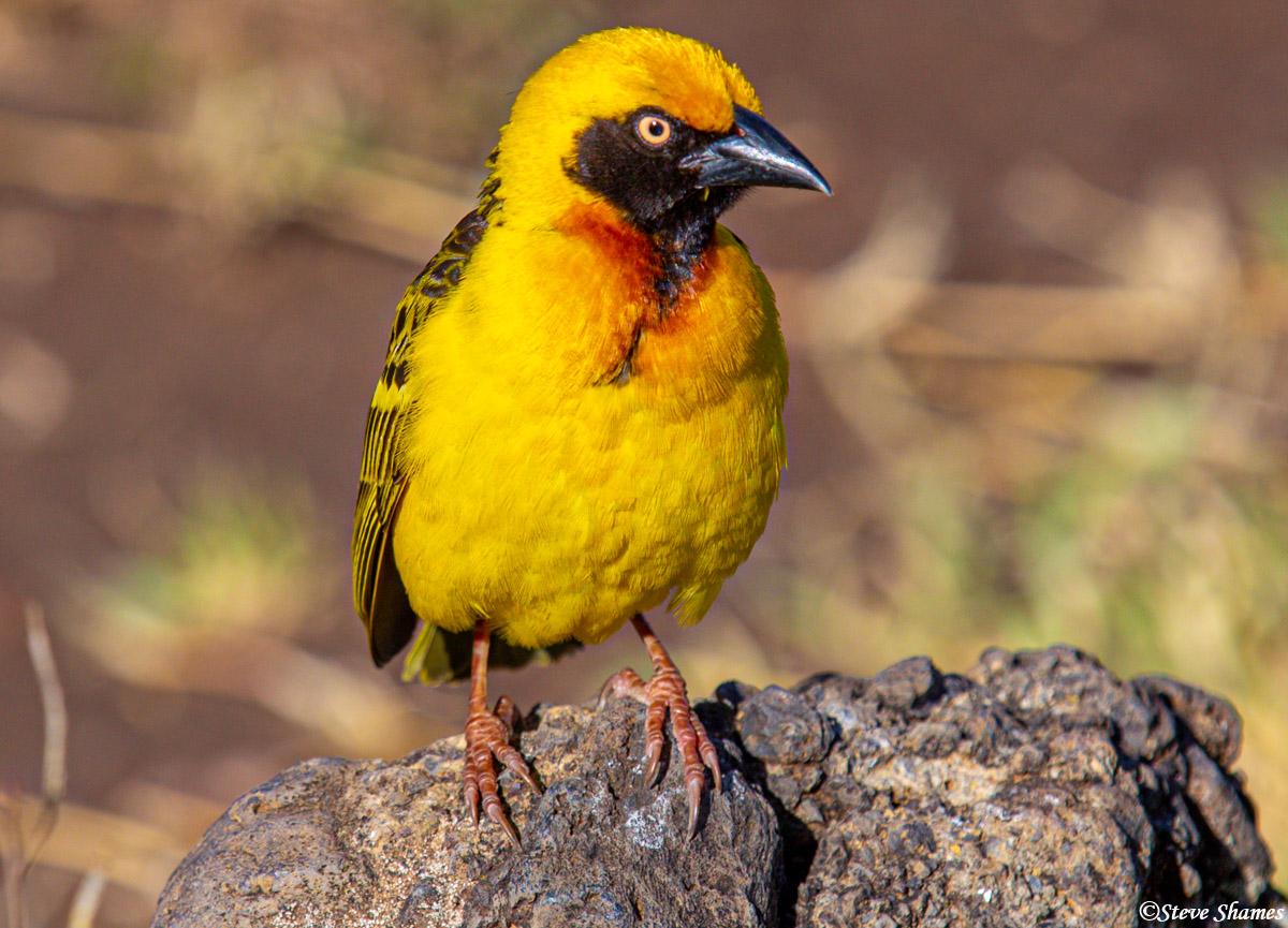 yellow weaver bird, ngorongoro crater, tanzania, photo