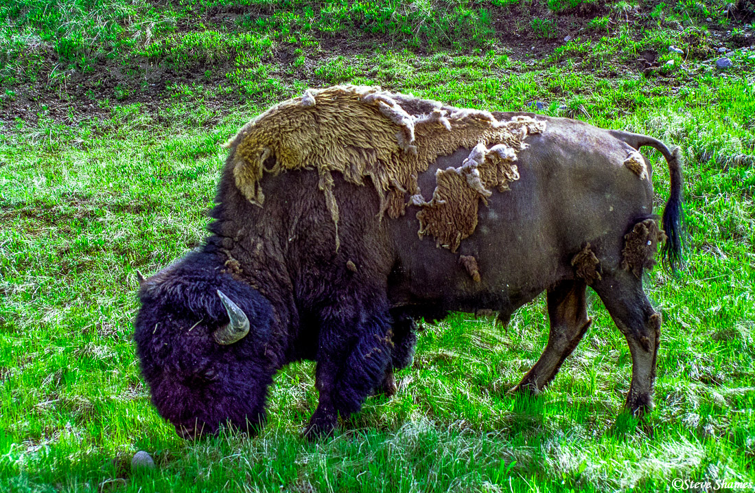 yellowstone national park, wyoming, bison shedding, photo