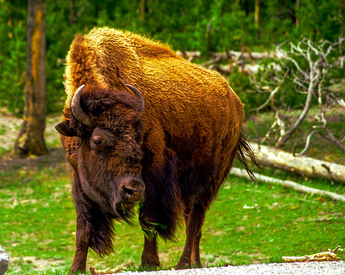 yellowstone bison, national park, wyoming, buffalo crossing, photo