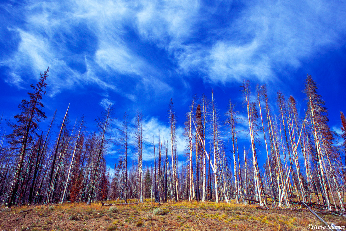 yellowstone trees, national park, wyoming, photo
