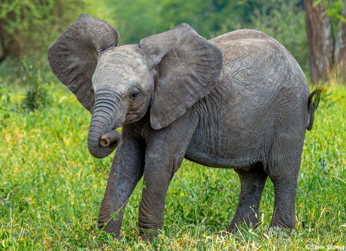tarangire, national park, tanzania, young elephant, photo