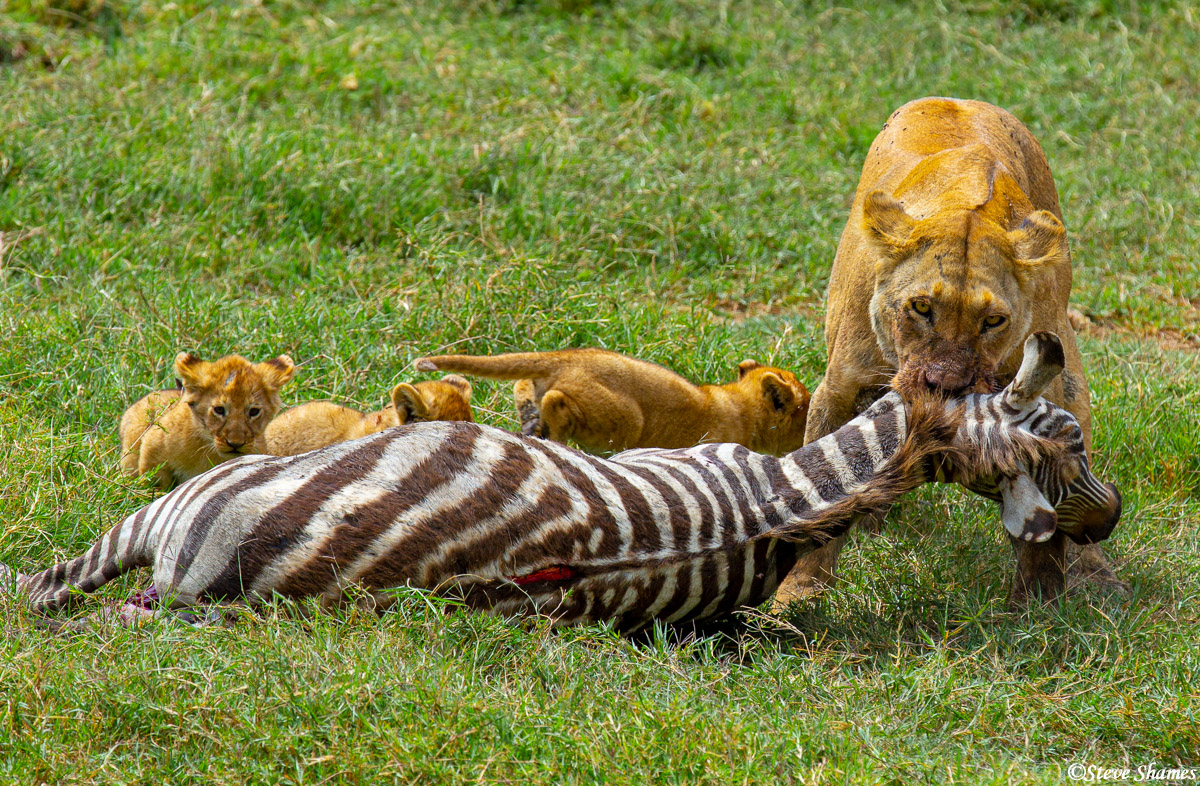 serengeti, national park, tanzania, zebra kill, feed cubs, photo