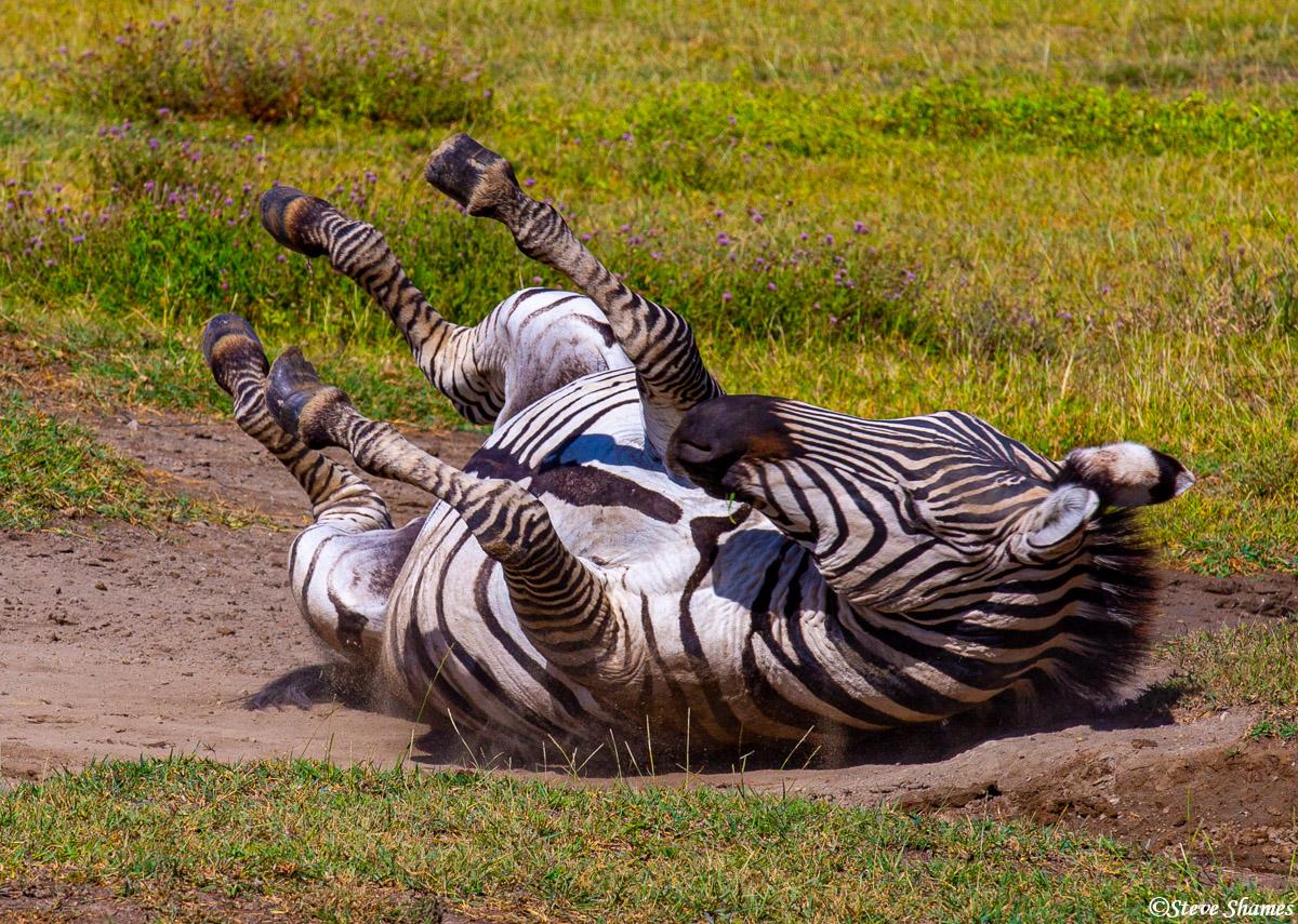 ngorongoro crater, tanzania, zebra rolling in dirt, photo