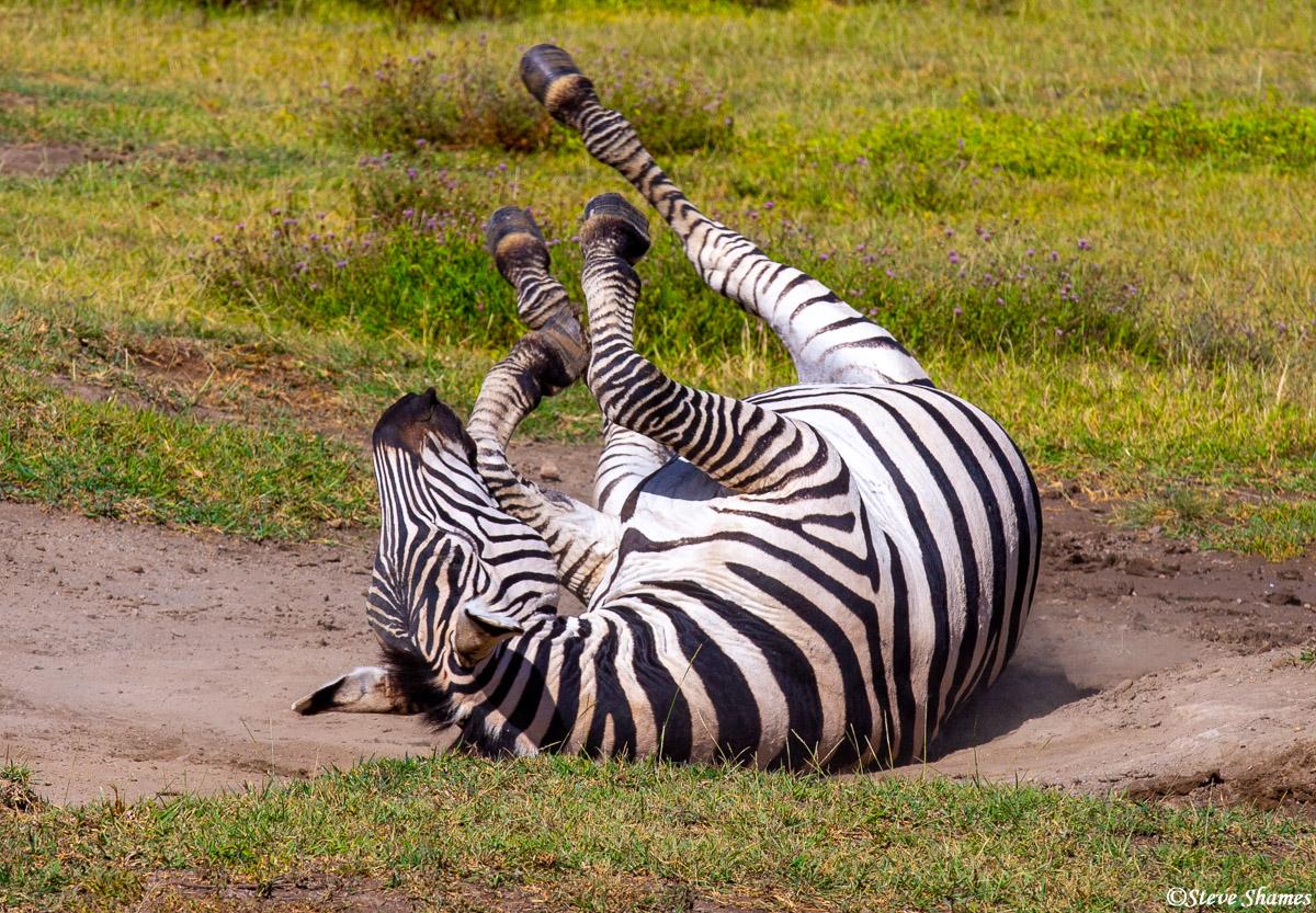 ngorongoro crater, tanzania, zebras, photo