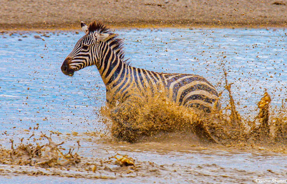 serengeti national park, tanzania, zebra in waterhole, photo
